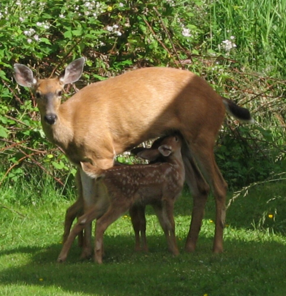 MOMMY FEEDING THE BABY DEER by MsLiz