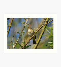 Willow Warbler Singing in Spring Art Print