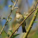 Willow Warbler Singing in Spring by John Kelly Photography (UK)