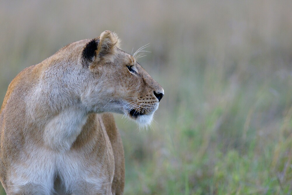 Lionness, profile by Yves Roumazeilles