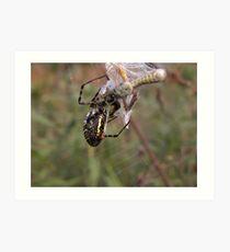 Argiope Trifasciata White Backed Garden Spider and Grasshopper Art Print