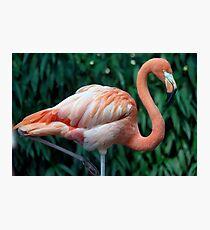 Flamingo Portrait Photographic Print