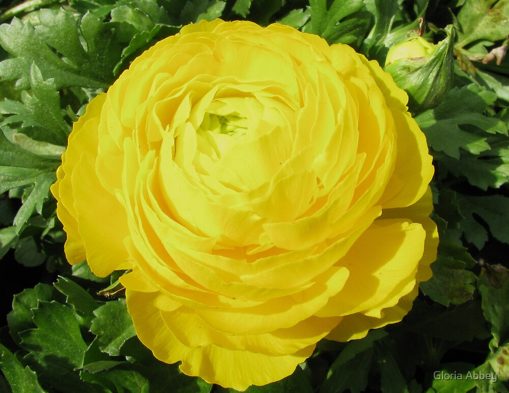 Yellow Perfection by Gloria Abbey