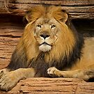 A Male Lion Looking Right at Me by TJ Baccari Photography