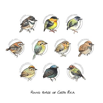 cute round birds of Costa Rica by E-M-Wood