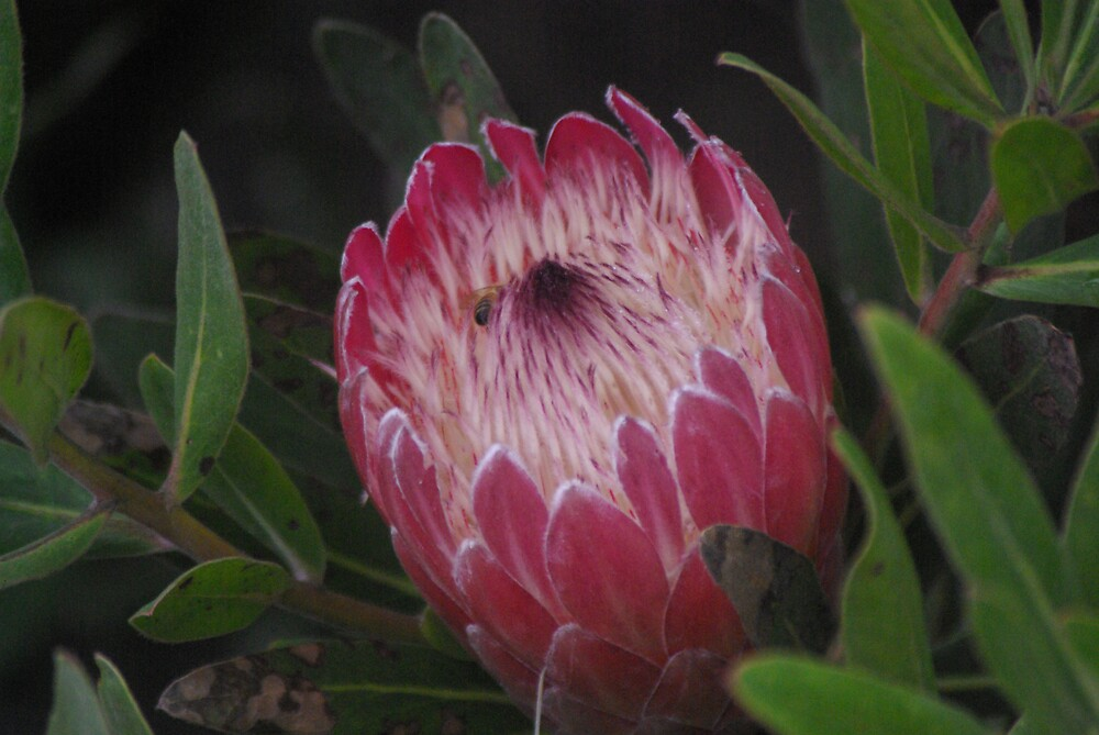 Red waratah #2 by Emma Dixon