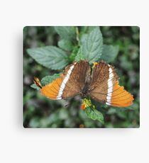 close-up of an orange-brown butterfly Canvas Print