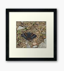 greyish-black butterfly with bright orange stripes Framed Print