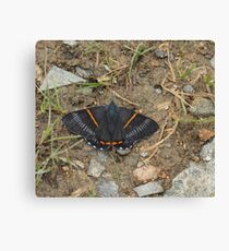 greyish-black butterfly with bright orange stripes Canvas Print