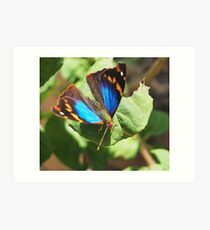 small butterfly with dark wings, bright blue and orange pattern Art Print