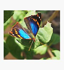 small butterfly with dark wings, bright blue and orange pattern Photographic Print