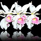 white orchids by Eliza1Anna