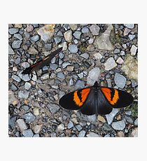 Two black and orange butterflies Photographic Print