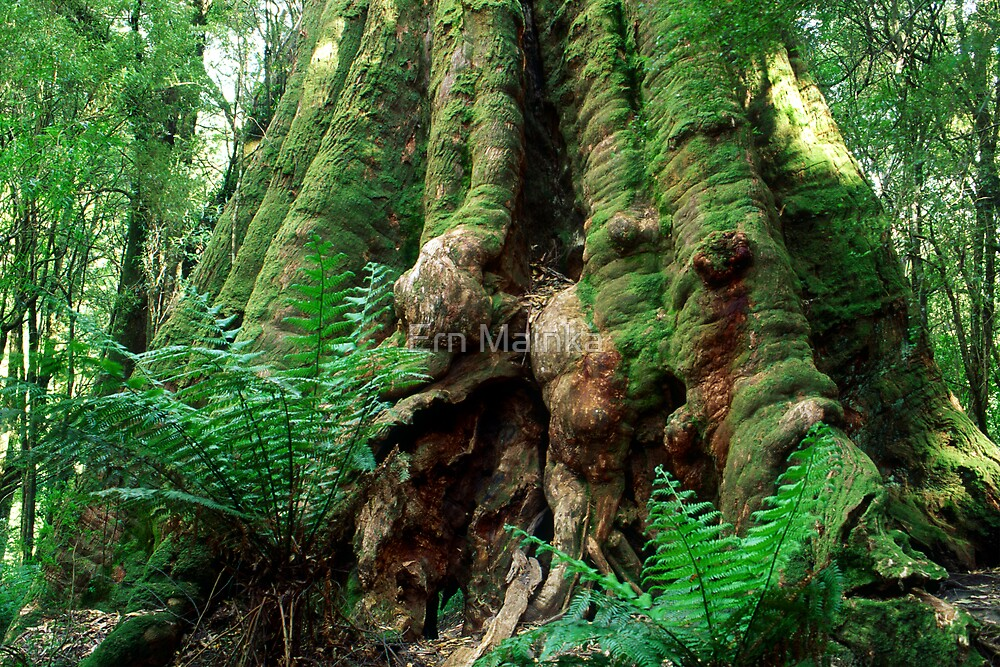 Old Growth Messmate II, Otways NP, Victoria. by Ern Mainka