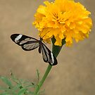 marigold with glasswing by WonderlandGlass