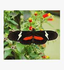 Black and red butterfly with wide wings Photographic Print