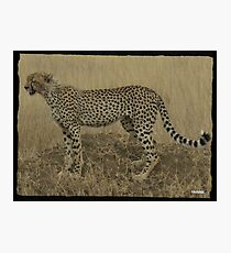Cheetah Scouts Prey Photographic Print