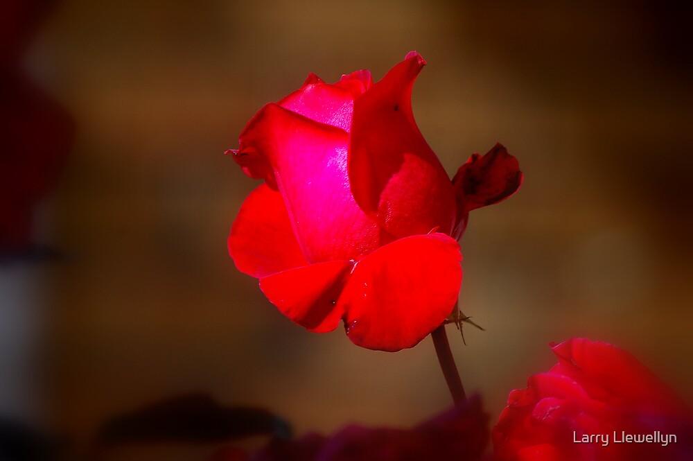 My Rose.... by Larry Llewellyn