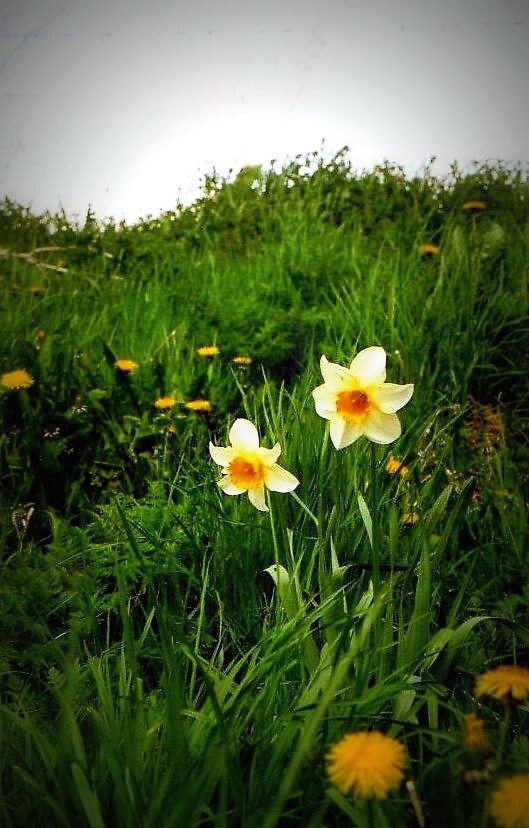 Daffodils in Scotland by Shannon Byous Ruddy