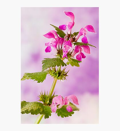 Pink Lamium Macro  Photographic Print