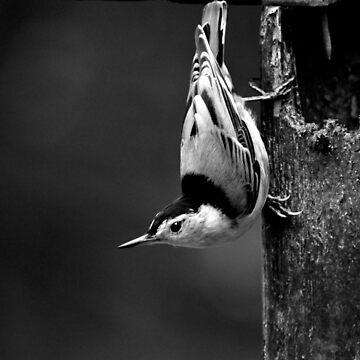 Nuthatch by LaurieMinor