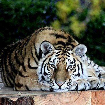 Tiger tiger burning bright by Ladymoose