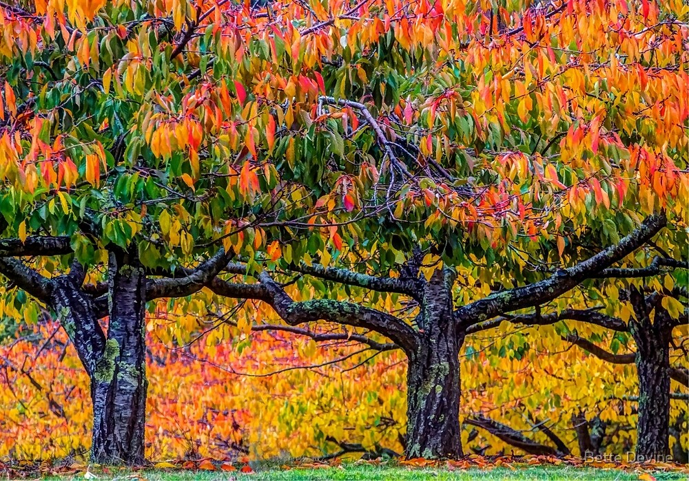Old Cherry Trees by Bette Devine