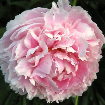 Peony by lillianhibiscus