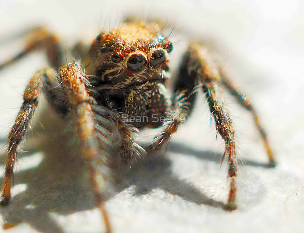 Jumping Spider by Sean Searle