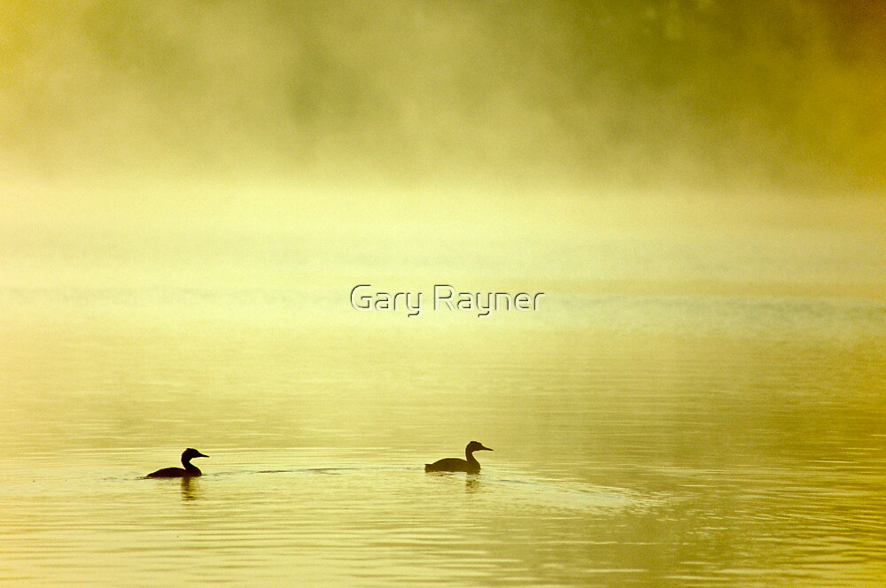 Great Crested Grebe's,Norfolk, UK by Gary Rayner