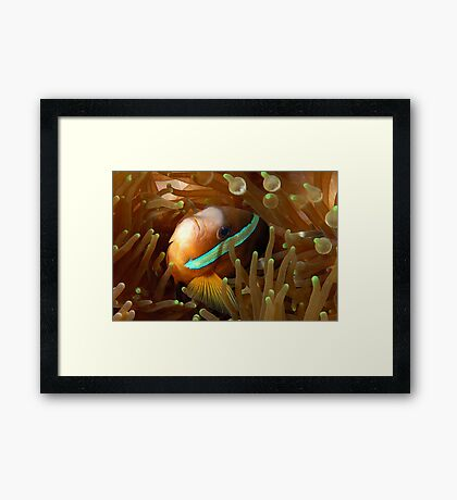 Clarkes Anemonefish Framed Print