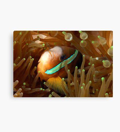 Clarkes Anemonefish Canvas Print