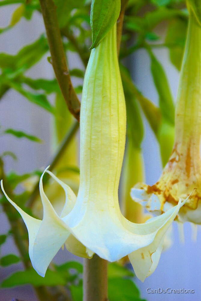 Angel trumpet by CanDuCreations