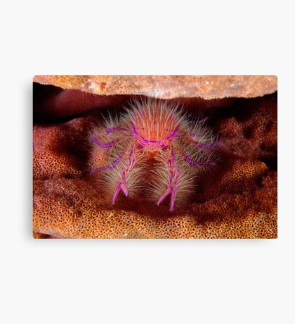 Hairy Squat Lobster Canvas Print