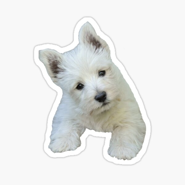 West Highland White Terrier Puppy portrait 3 Sticker