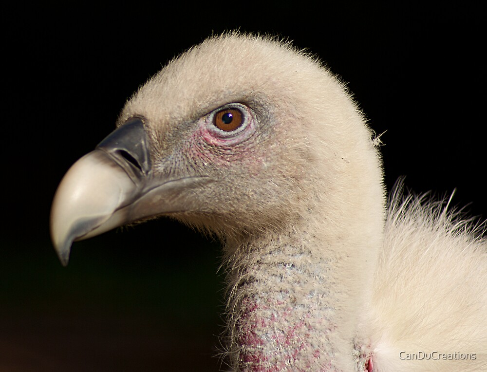 Head of a vulture by CanDuCreations