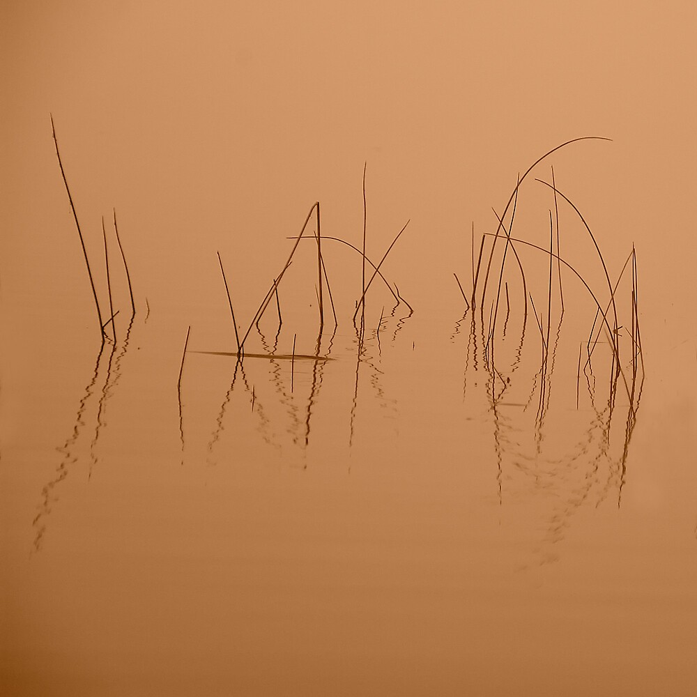 Reeds by Michael  Dreese