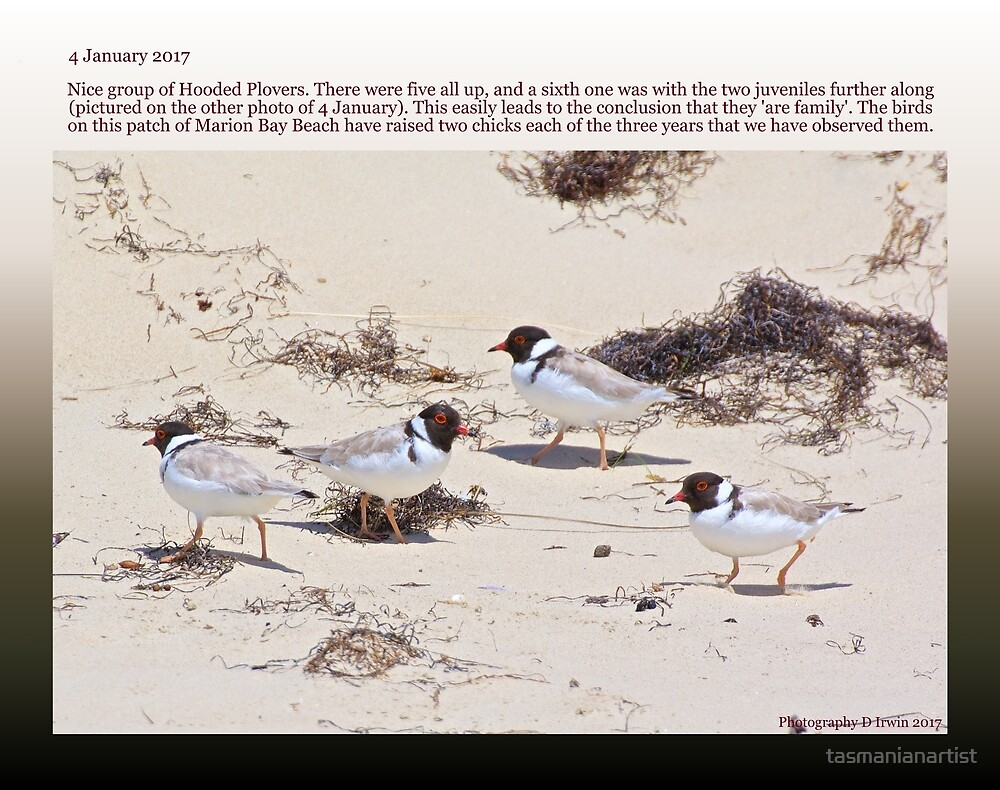HOODED PLOVER LOG ~ 4 January 2017 Family Gathering by tasmanianartist