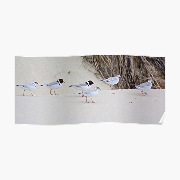 SHOREBIRDS ~ Hooded Plover by David Irwin Poster