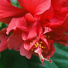 Double Hibiscus by markophoto