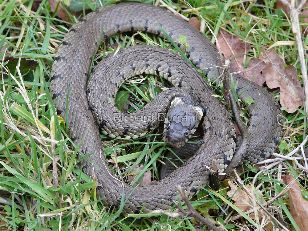 Basking Grass Snake by Richard Durrant