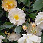 Rose So Lovely by Betty Mackey