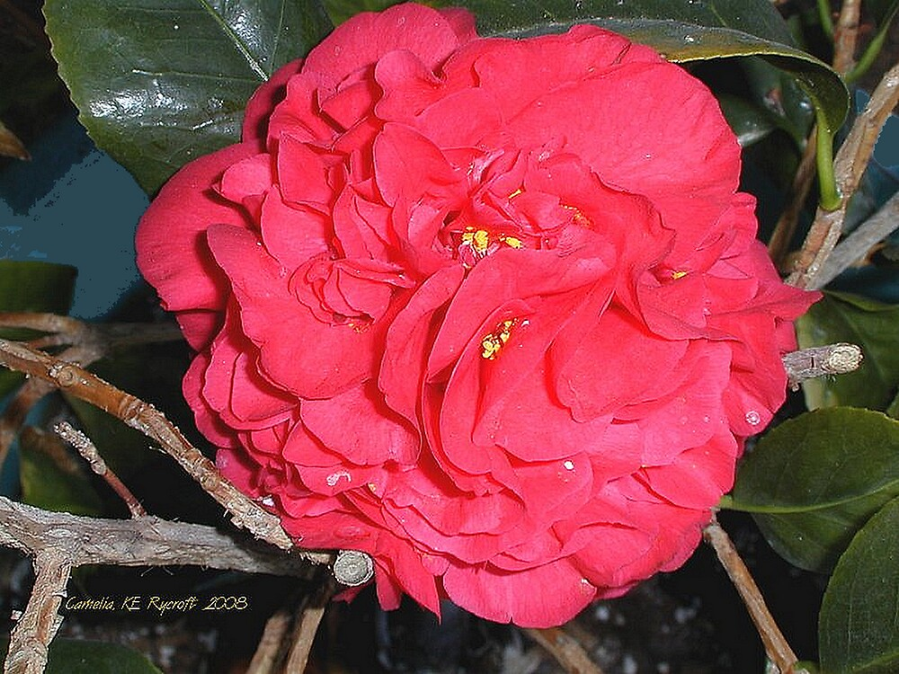 Camellia by Kathryn Eve Rycroft