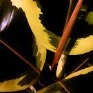 Ficus by BrandnerGraphic