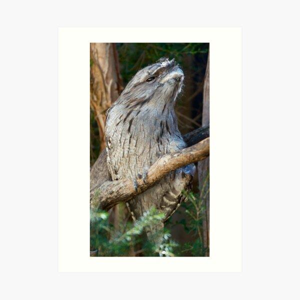 FROGMOUTH ~ Tawny Frogmouth by David Irwin ~ WO Art Print