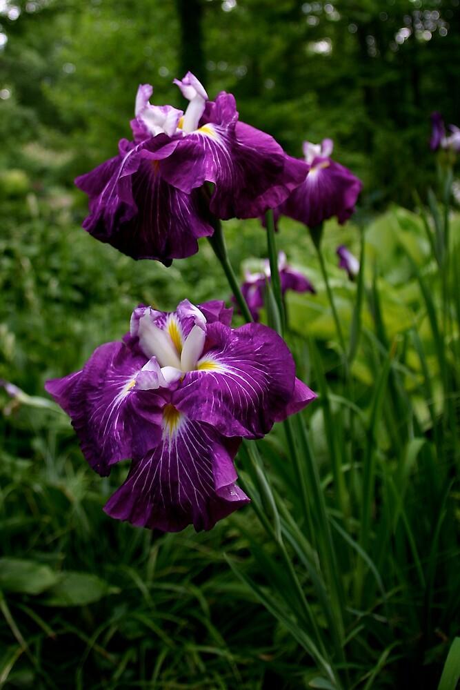 Iris by TheBobBlog