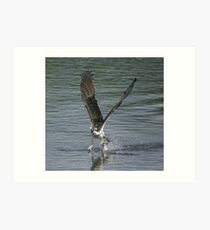 Osprey fishing Art Print