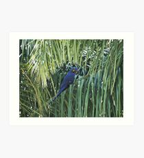 Hyacinth Macaw in the wild Art Print