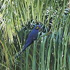 Hyacinth Macaw in the wild by dare2go