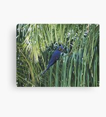 Hyacinth Macaw in the wild Canvas Print